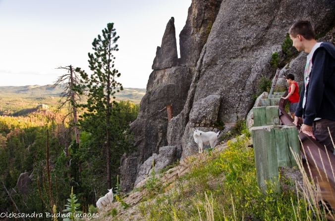 Mountain goats at Custer state park