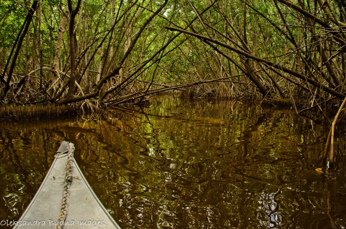 canoeing through a mangrove