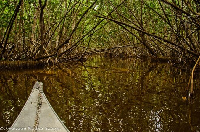 canoeing through a mangrove