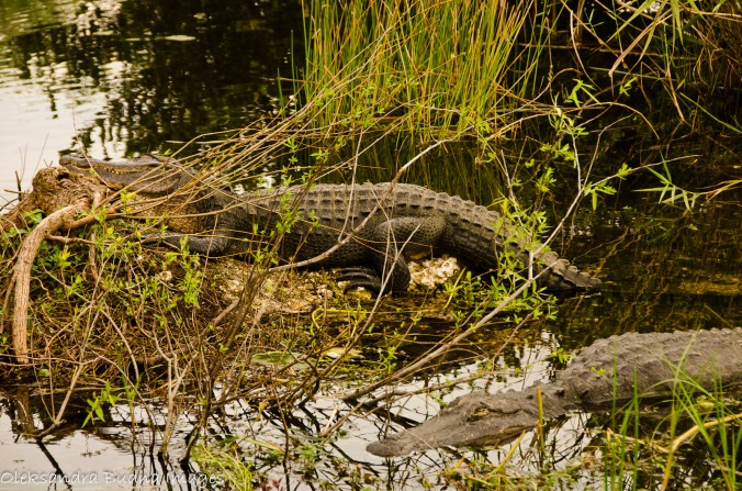 alligators at everglades