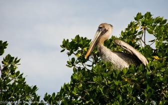 pelican in a tree