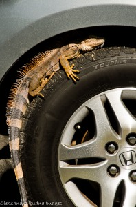 iguana on a car tire