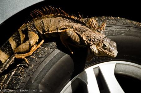iguana on a car tire