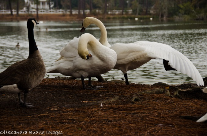 swans and canada goose