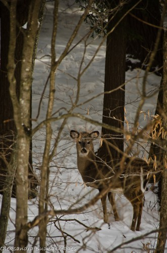 doe in the winter
