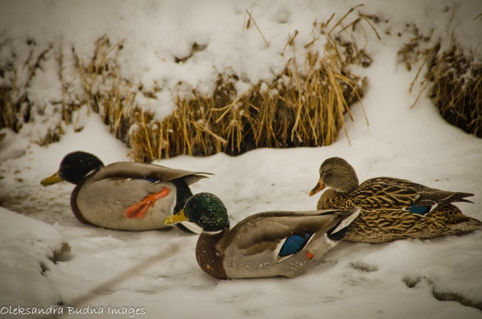 ducks in the winter