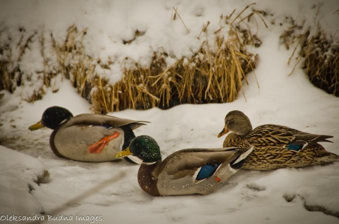 ducks in the winter
