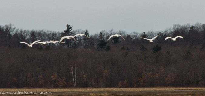 tundra swans at pinery