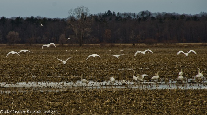 tundra swans at grand bend
