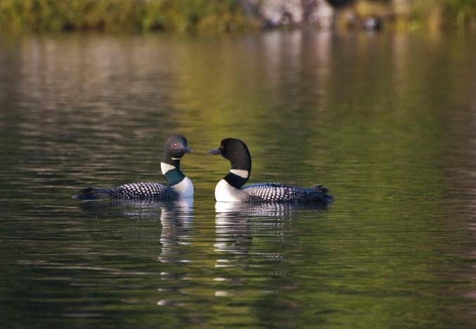 loons on Opalescent Lake in Algonquin