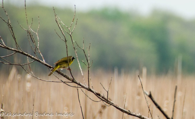 warbler at Point Pelee National Park