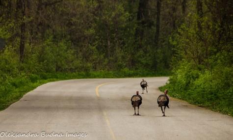 turkeys at Point Pelee National Park