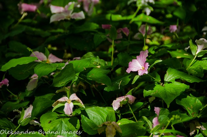 trilliums at Fish Point Reserve on Pelee Island