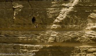 swallows near sand cliffs