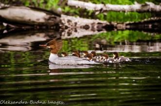 common merganser with ducklings