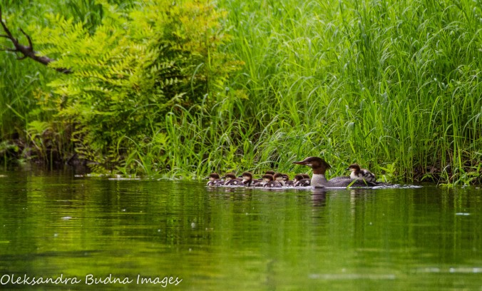 common merganser with ducklings