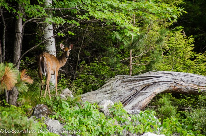 deer at Killarney Provincial Park