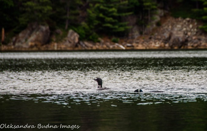 loons on Killarney Lake