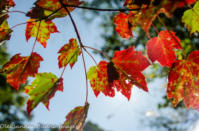 red maple leaves at Killbear Provincial Park