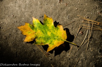 yellow oak leaf at Killbear Provincial Park