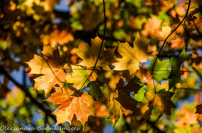 orange maple leaves at Killbear Provincial Park