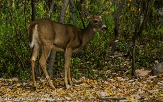 doe at Killbear Provincial Park