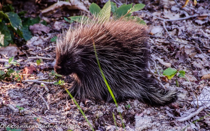 porcupine at Killbear Provincial Park