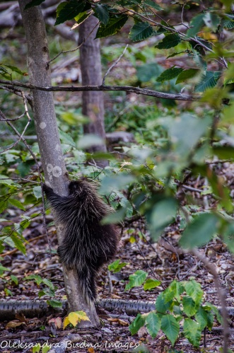 porcupine climbing a tree at Killbear Provincial Park