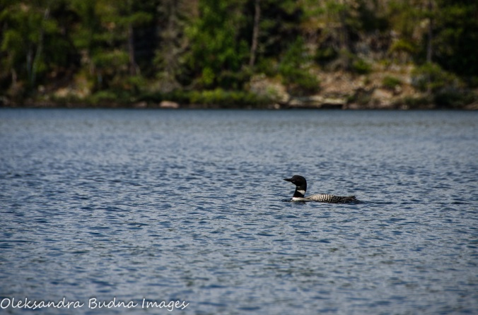 loon on Cirrus Lake in Quetico
