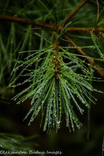 pine branch after the rain