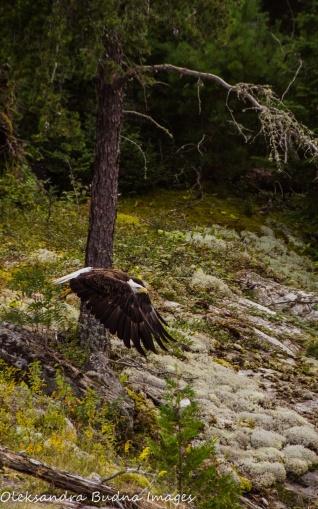 bald eagle in Quetico