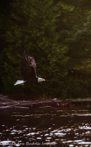 bald eagle in Quetico