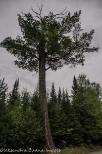 pie tree at Quetico Provincial Park