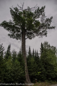 pie tree at Quetico Provincial Park