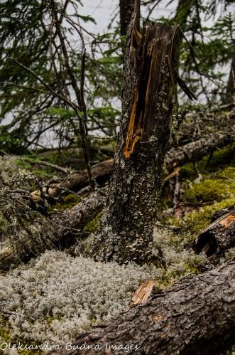 tree stump at Quetico Provincial Park