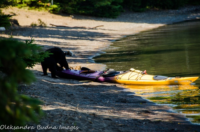 bear playing with a kayak at Sleeping Giant