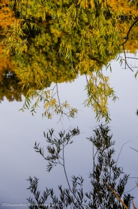 willow branches reflected in Grenadier Pond in High Park