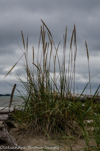 grass on the beach in Neys Provincial Park