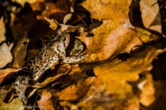 toad on fallen leaves