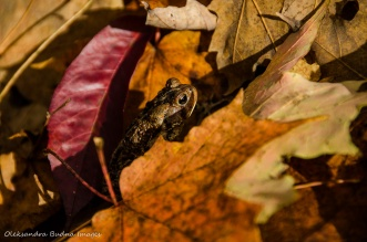 toad hiding in the fallen leaves