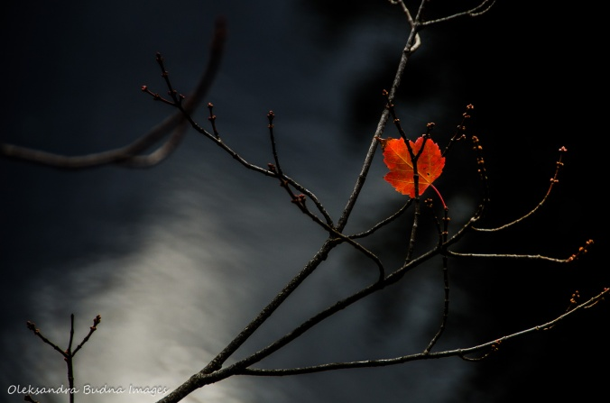 lone red leaf on a branch