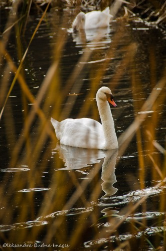 swan in High Park