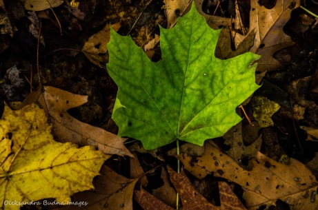 green maple leaf on the ground
