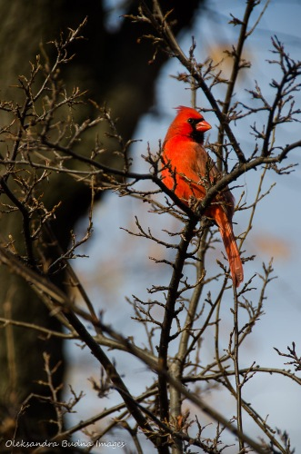 northern cardinal in High Park