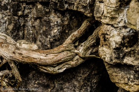 eastern white cedar roots in the rock at Rattlesnake Point