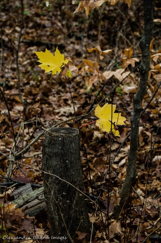 two yellow maple leaves and a stump