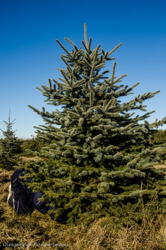 cutting a Christmas Tree at Elliott Tree Farm