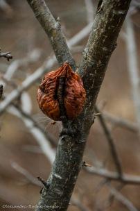 decomposig apple on a tree