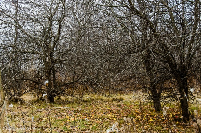 apple trees at Forks of the Credit Provincial Park