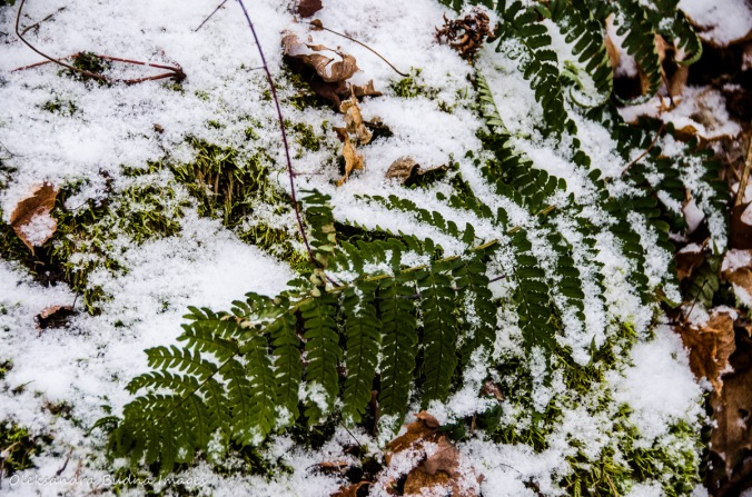 snow covered fern